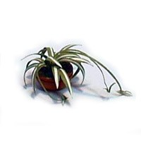 § Disc $4 Off - Dollhouse Potted Spider Plant - Product Image