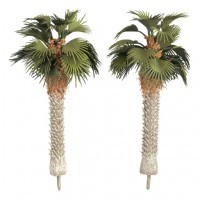 Mediterranean Fan Palm Trees - Product Image